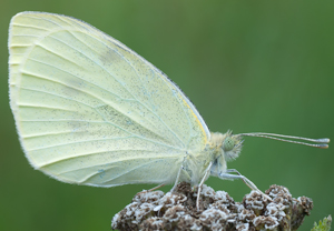 Pieris rapae 2