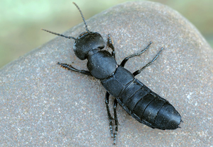 eu insekten ocypus tenebricosus dunkler raubk fer. Black Bedroom Furniture Sets. Home Design Ideas